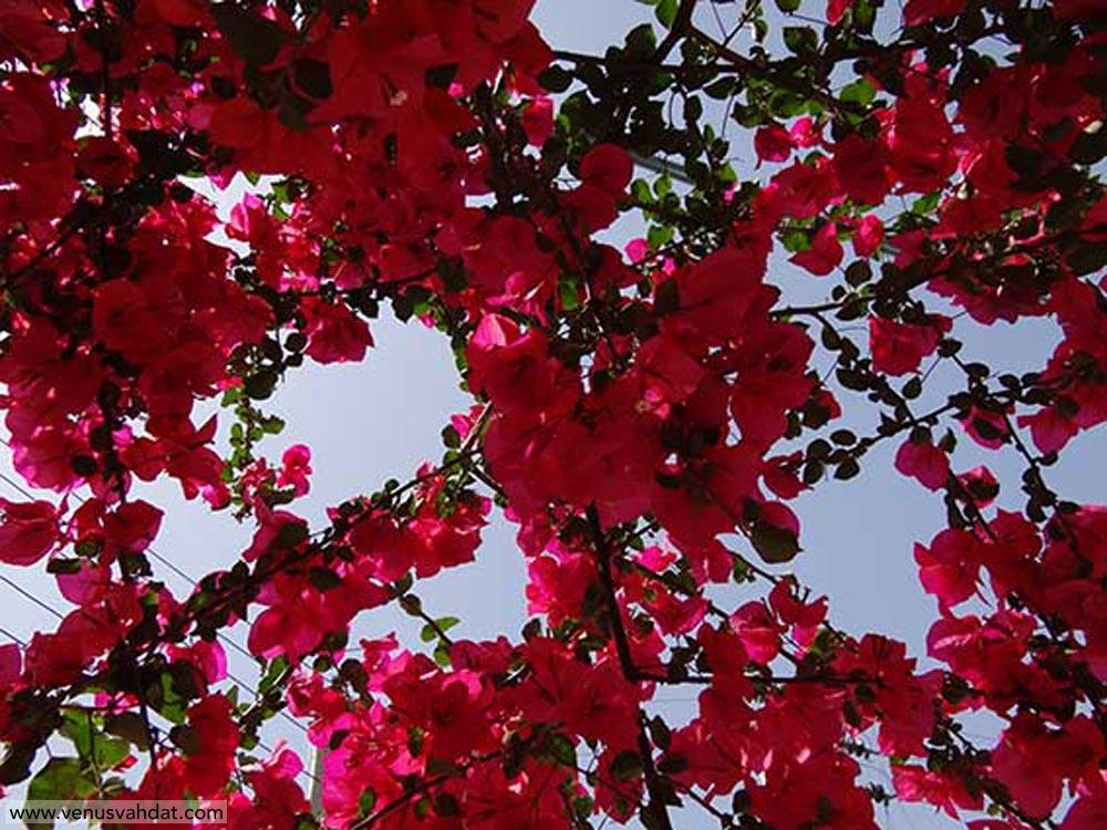 عکاسی طبیعت - گل آزالیا