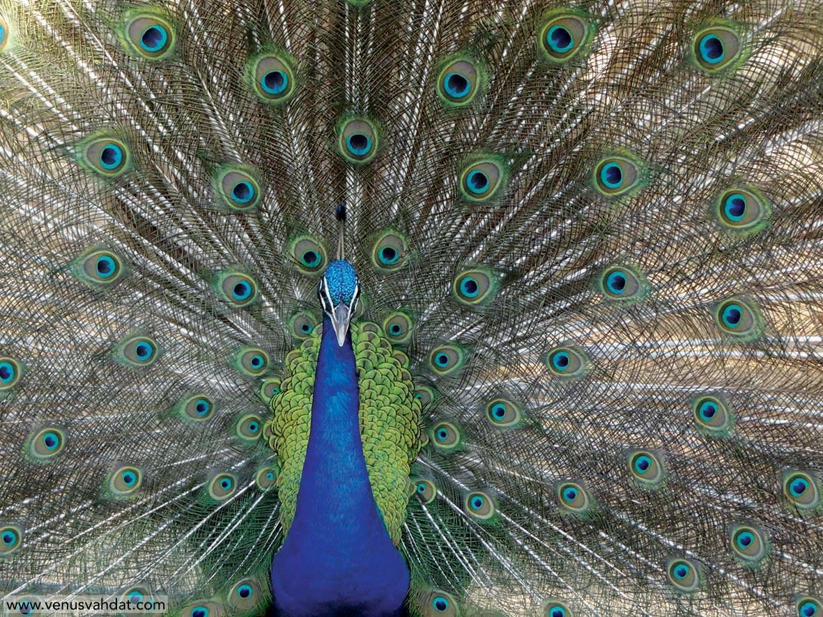 عکاسی طبیعت - طاووس